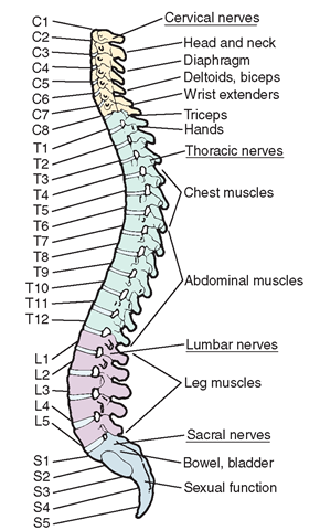Nerves and the Spine | Natural Results Chiropractic | Front Royal, VA
